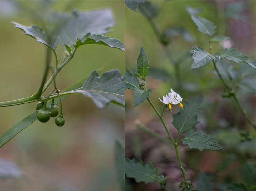 black nightshade collage